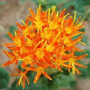 Wintefei 40 semillas chinas medicina Saffron Crocus flor Bonsai semillas hogar jardín decoración
