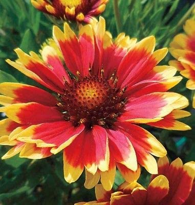 Plant Now Blanketflower 250 Seeds Multiplies quickly