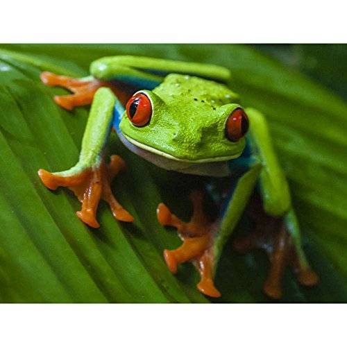 - Red Eyed Tree Frog - Wildlife Animal Art Print Poster Wall Decor Home Decor(28x20inches)