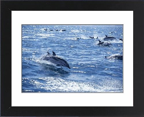 Framed Artwork of Group of striped dolphins (Stenella coeruleoalba) swimming