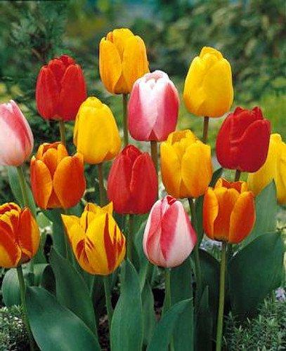 Tequila Sunrise Tulip - 10 Bulbs - Colorful Mix - 12/+ cm Bulbs (Seeds & Bulbs)