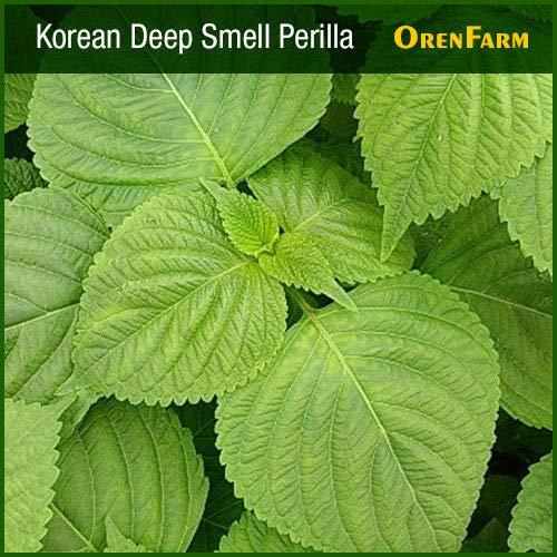 Portal Cool Fragante de semillas de Perilla de Corea (2500 semillas) Las semillas de hierbas, semillas de hortalizas ?, ? Au