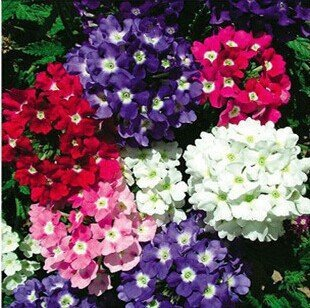 Verbena seeds home gardening mini potted plants free shipping (Verbena Mini)