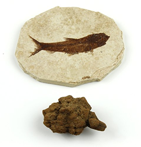 Dancing Bear Fish Fossil (Knightia Eocaena) & Coprolite (Real fossilized Turtle Poo!), 2 Pc Fossil Collection Set with ID Cards, Geological Time Scale, Genuine specimens, Science Kit for Kids