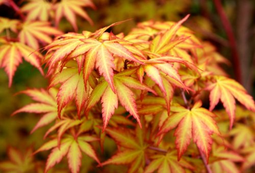- Little Sango Dwarf Coral Bark Japanese Maple Acer palmatum 'Little Sango' Coral Red Bark is Bright Red, Year Round Beauty 1 - Year Live Plant