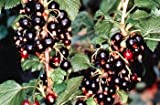 "Consort Black Currant Bush - Great for Wine Making! - 2 1/2"" Pot"