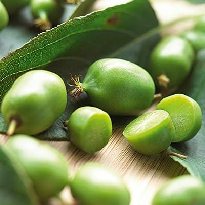 (1 Gallon) ISSAI KIWI VINE/SHRUB- COLD HARDY KIWI plant, produce lots of small, delicious smooth-skinned Kiwi