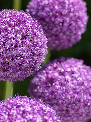 (2 Bulbs of Allium Giant 'Ambassador' 24/+ cm. Huge Bulbs! Ornamental)