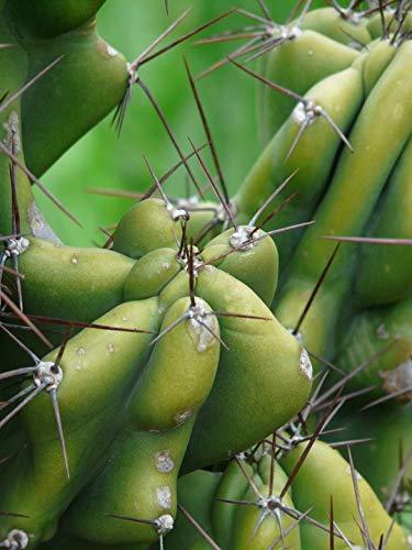 - Home Comforts Canvas Print Spur Cereus Peruvianus Monstrosus Rock Cactus Cereus Vivid Imagery Stretched Canvas 10 x 14