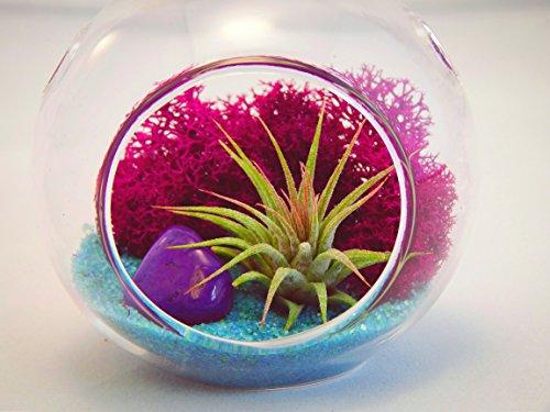 bliss-gardens-mini-air-plant-terrarium-kit-with-3-round-glass-fuchsia-moss-turquoise-sand-and-purple