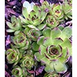 25 HENS & CHICKS Chickens Sempervivum Succulent Seeds