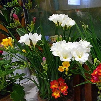Amazon Seeds Shopp Rare White Freesia Seeds Freesia Flower Pot