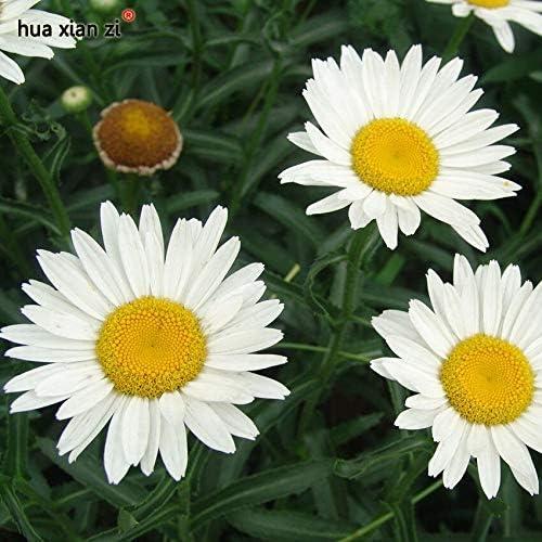50種子/バッグ大きなLeucanthemun花種子鉢植え盆栽植物ホワイト菊花種子用ホームガーデン