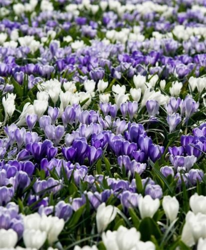 20 Giant Early Spring Crocus bulbs~Moody Blues Mix~Pre-Chilled for forcing