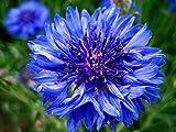 Blue Bachelor Button Seeds - Cornflower -1400 Seeds