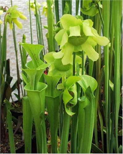 CARNIVOROUS PLANT - YELLOW TRUMPET PITCHER
