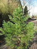 immergrüner Mammutbaum Sequoiadendron giganteum 80-100 cm hoch im 10 Liter Pflanzcontainer