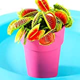 Zokeo 50Pcs Potted Venus Flytraps - Fly Trap Carnivorous Plant Seeds, Insect Flies, Mosquitoes Catching Plant Seeds (Colorful)