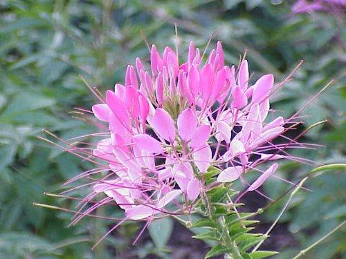 E (Spider Flower) Cleome Hasslerana Flower Seeds ()