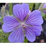 """60+ GERANIUM PUSILUM BLUE ORCHID """"CRANESBILL"""" FLOWER SEEDS"""