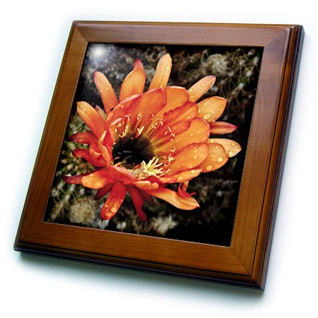 (3dRose ft_32390_1 Decorative Colorful Garden Botanic Classic Plant SW Southwest Desert Cactus Red Orange Rain Flower-Framed Tile, 8 By 8-Inch)