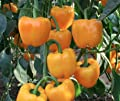 Golden California Wonder Sweet Pepper Seeds! - 50 Heirloom Seeds! - SPRING SALE! - SUNBRIGHT YELLOW (Isla's Garden Seeds) - Non GMO! 85% Germination! Organic Seeds! - Total Quality!