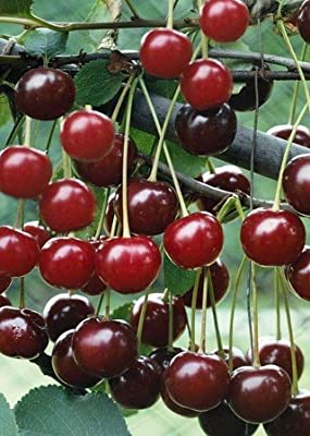 Danube Cherry Tree Seeds - 20 Cherry Seeds - Qualityseeds4less Exclusive