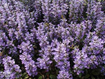 Classy Groundcovers - Bugleweed 'Chocolate Chip' 'Valfredda', A. tenorii {25 Pots - 3 1/2 in.} by Classy Groundcovers (Image #3)