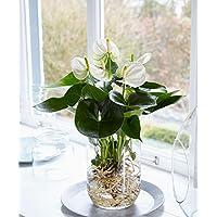 """Anthurie""""Weiß"""" im Wasser inklusive Glasvase Höhe 40-45 cm Topf-Ø 12 cm Anthurium andreanum"""