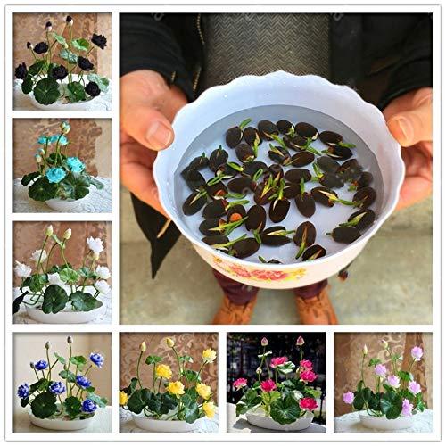 Pasonaseeds - Bonsai - Bonsai Flower Lotus Flower for Summer 100% Real Bowl Lotus Planting pots Bonsai Water Lily Garden Plants Easy to Grow 5pcs/Bag - by Pasona - 1 PCs ()
