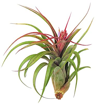 Large Air Plants - Big Streptophylla Air Plants - Nice 5 to 7 inch air Plant - Color & Form Varies by Season - 30 Day Guarantee air Plant Care ebook with Order : Garden & Outdoor