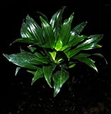 "4 Tropical Dracaena Janet Craig Compacta 'JCC' Shipped in 3"" Pot Easy Houseplant"