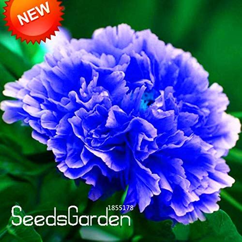 Kasuki Sale!Chinese Rare and Precious Species of Blue Peony Flower Bonsai 10 Pcs/lot,#5H5HCL - (Color: Mix) by Kasuki