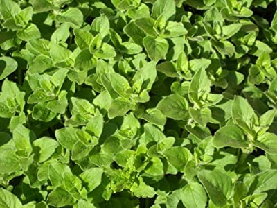 Oregano Seeds- Greek- Herb Seeds- 300+ seeds