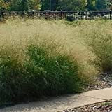 Outsidepride Sand Love Grass - 5000 Seeds