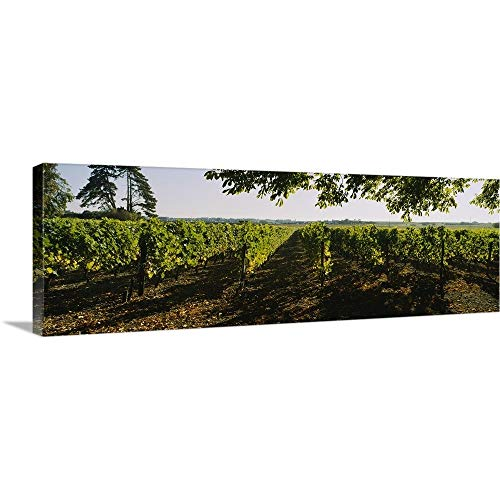 GREATBIGCANVAS Gallery-Wrapped Canvas Entitled Grape Vines in a Vineyard, Loire Valley, France by 60
