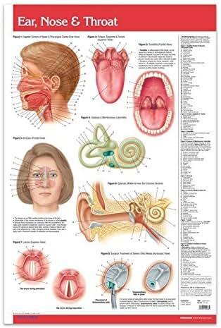 Ear, Nose & Throat Wall Chart Poster (24