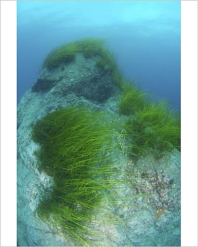 Media Storehouse 10x8 Print of Eelgrass -Zostera Marina-, Japan Sea, Primorsky Krai, Russian Federation (12532169)