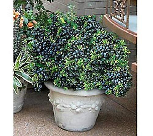 Blueberry Plants Fruits Live 4 Four Dwarf Plant Top Hat V3 by Iniloplant (Image #1)