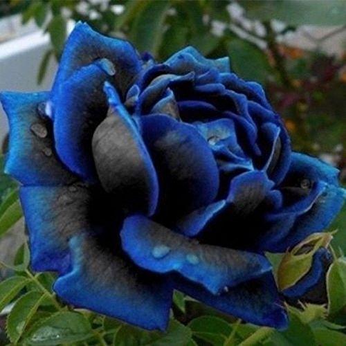 10-pcs-lover-charming-bush-midnight-supreme-seeds-rare-garden-blue-rose-seeds-jp