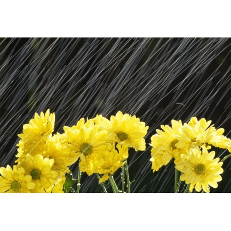 Raining On Yellow Daisies Canvas Art - Natural Selection Craig Tuttle Design Pics (18 x 12) (Daisies Raining)
