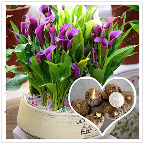 (Mini Bonsai Evergreen True Purple Calla Lily Bulbs,Calla Flower,(Bonsai),Elegant Noble Flower,Flower Bulbs Symbolizes Love 2 Bulbs)