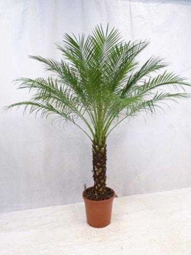 Phoenix roebelenii - Zwerg-Dattelpalme 170 cm - Stamm 60 cm / Zimmerpalme