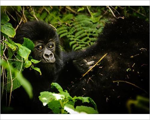 Baby Mountain Gorilla (Photographic Print of Baby Mountain Gorilla)