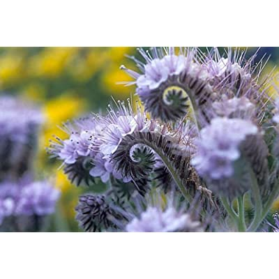 50 Purple Tansy Seeds, Fiddle Neck Tansies, Annual Flower Seed, Unusual Blooms 50ct : Garden & Outdoor