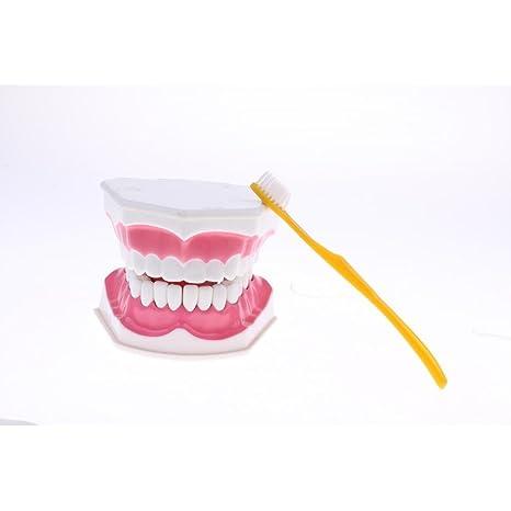 perfeclan Modelo de Estructura de Dientes de Boca Humana PVC con Cepillo JAumento 2X Suministro de