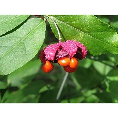 Euonymus Americanus Strawberry Bush 10 Seeds YXG17 : Garden & Outdoor