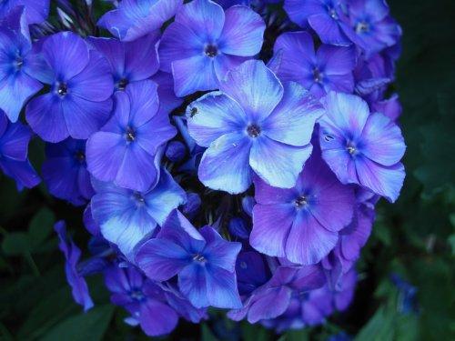 (Treasuresbylee - Blue Diamond Phlox - 30 Heirloom Flower Seeds)