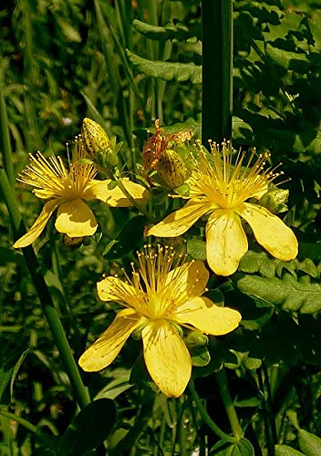 5 Starter Potted Plants of Hypericum perforatum, ST. John's Wort