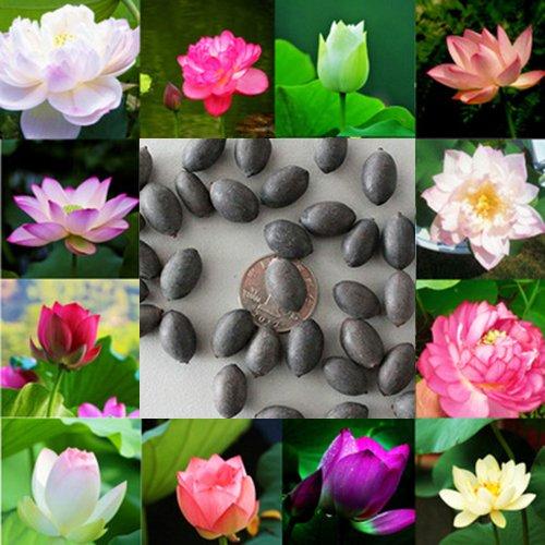 Hanbaili 2 Pack Aquatic Bowl Lotus Flower Seeds,10Pcs/Pack Mixed Color Aquaculture Flower Hydroponic Plants Seeds